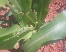 Photo of किसानको मकैबालीमा फौजी किरा लागेपछि चिन्ता बढदो