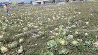 Photo of बारीमा कुहिँदै किसानको तरकारी