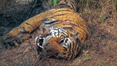Photo of एक बर्षमा तीन बाघ मरे