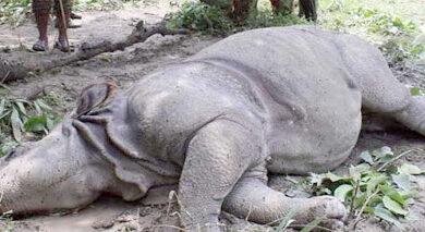 Photo of चितवन राष्ट्रिय निकुञ्जमा पोथी गैंडा मृत भेटियाे