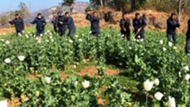 Photo of अन्दाजी ३ ससय ५० रोपनी जग्गामा लगाएको अफिम खेती फडानी